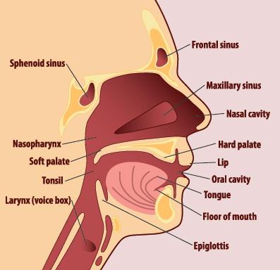 throat rh operachic typepad com Throat Anatomy Diagram Human Throat Anatomy